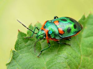 1200px-metallic_shield_bug444